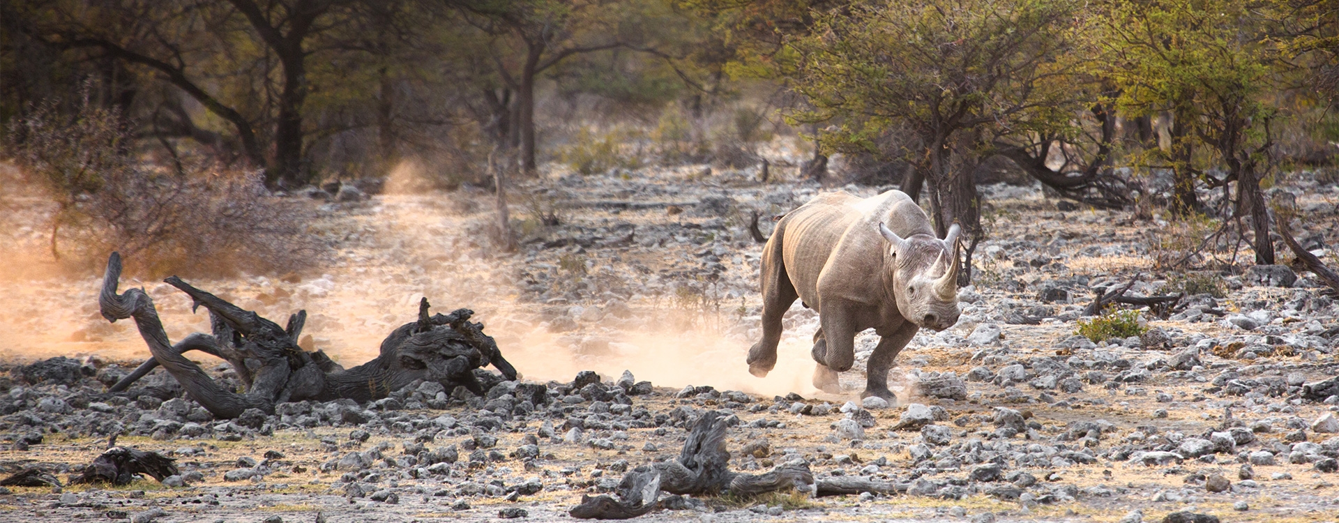 Black rhino population on the rise in Africa / C1-C2